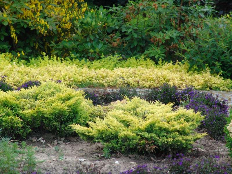 Можжевельник горизонтальный лайм глоу в дизайне сада