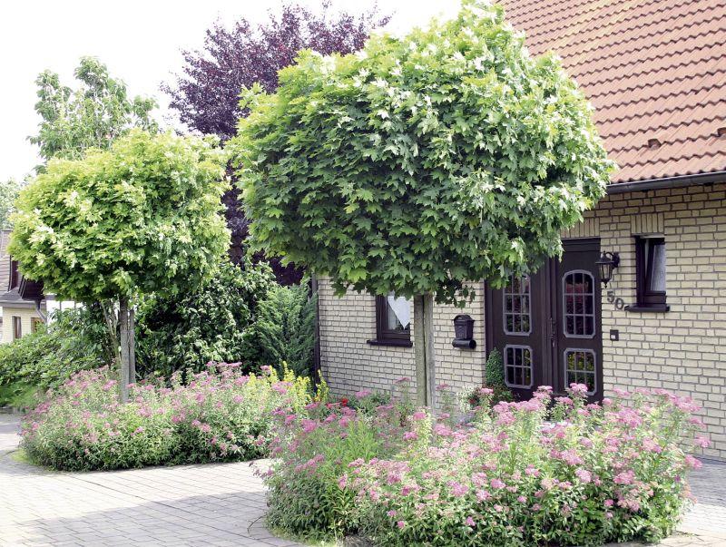 Globosum - Baum vorgarten immergrun ...