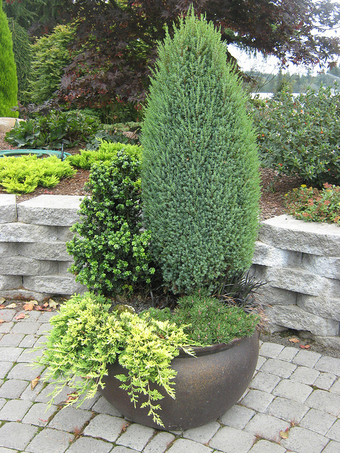 Декоративные хвойные растения для сада фото