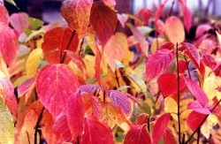 Cornus_stolonifera_autumn_color_8-inch_Pat