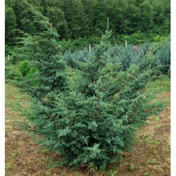 Juniperus-Blue-Alps