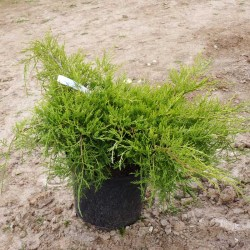 Juniperus-Gold-Coast-3