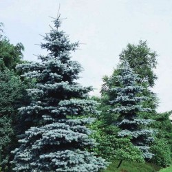 Picea-Koster-2