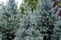 Picea-pungens-z