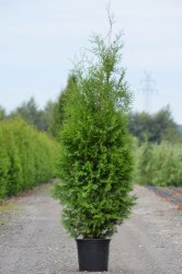 Thuja occidentalis Brabant_02ax2u_enl