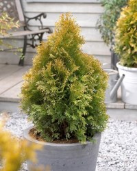 Thuja_occidentalis_Golden_Anne_6_1