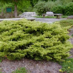 juniperus_gold_coast1