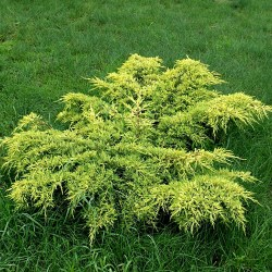 juniperus_gold_coast