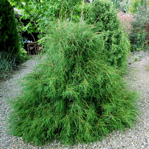 http://zp31.ru/images/stories/virtuemart/product/thuja_filiformis-1.jpg